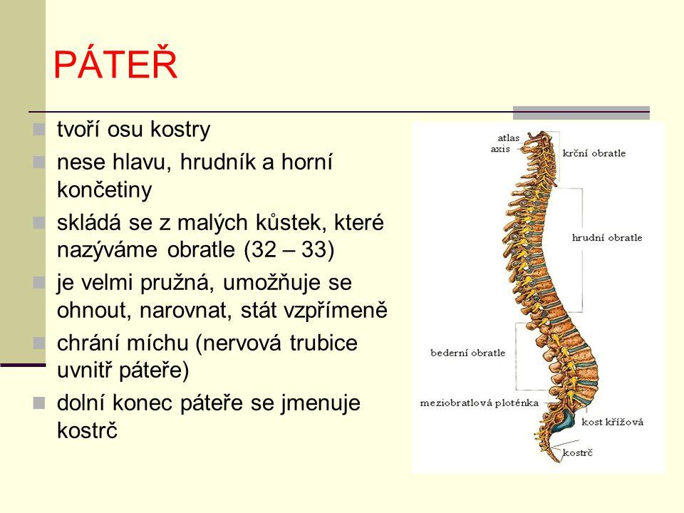 PÁTEŘ tvoří osu kostry nese hlavu, hrudník a horní končetiny skládá se z malých kůstek, které nazýváme obratle (32 – 33) je velmi pružná, umožňuje se ohnout, narovnat, stát vzpřímeně chrání míchu (nervová trubice uvnitř páteře) dolní konec páteře se jmenuje kostrč