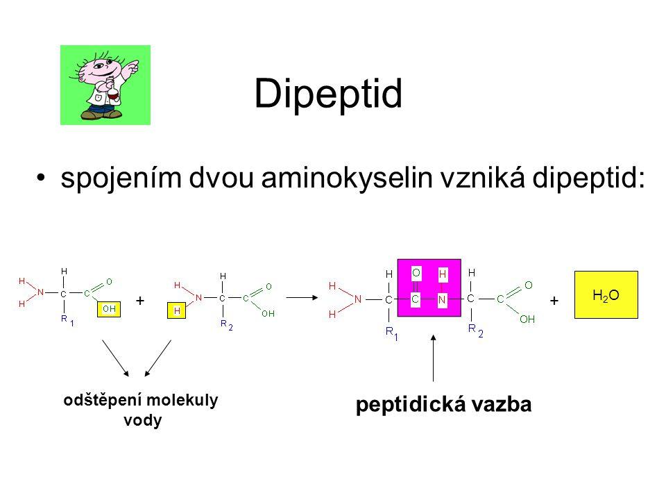 Dipeptid spojením dvou aminokyselin vzniká dipeptid: ++ H2OH2O peptidická vazba odštěpení molekuly vody