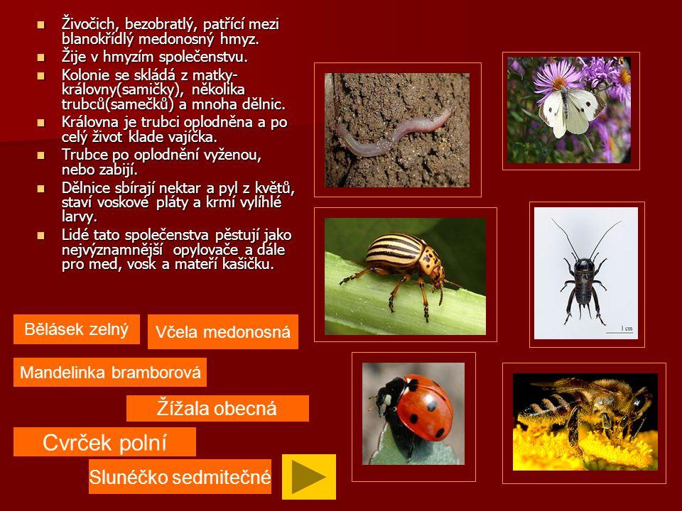 Živočich, bezobratlý, patřící mezi hmyz.Živočich, bezobratlý, patřící mezi hmyz.