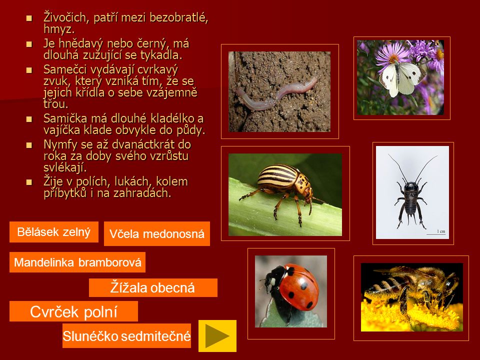 Živočich, bezobratlý, červ kroužkovitý, asi 15 cm dlouhý, růžové nebo tmavěčervené barvy.