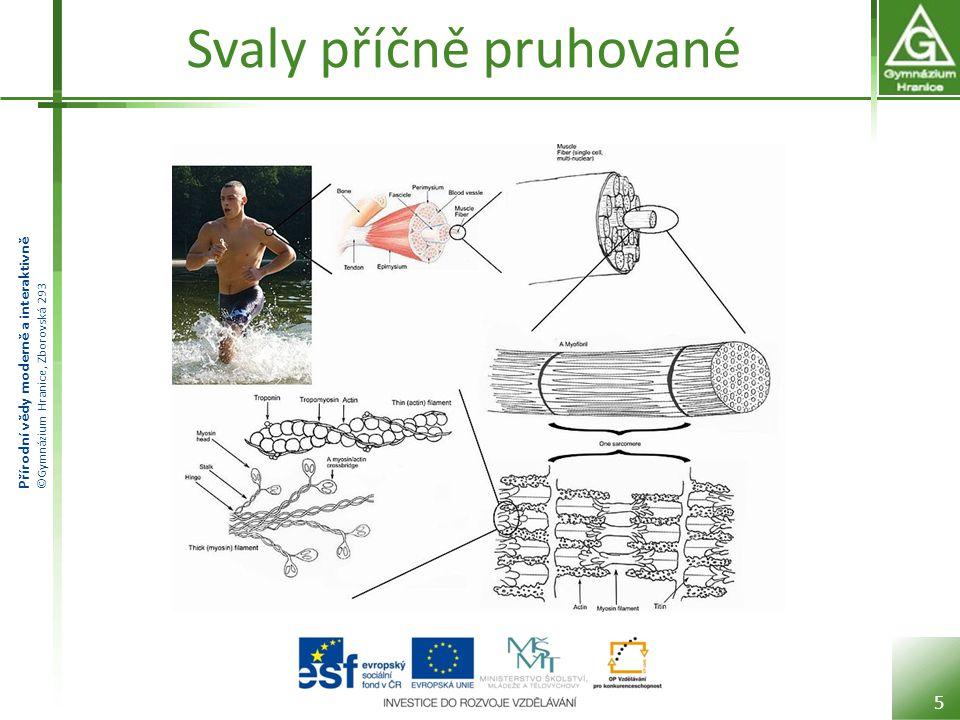 Přírodní vědy moderně a interaktivně ©Gymnázium Hranice, Zborovská 293 Svaly hladké Skládají se z vřetenovitých buněk.