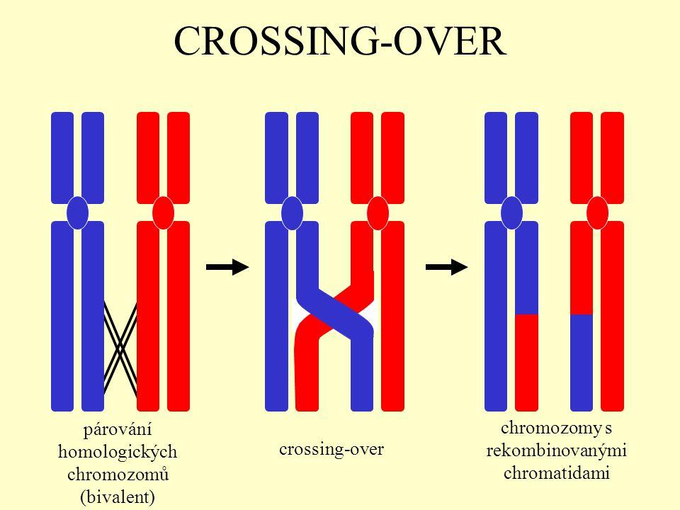 CROSSING-OVER párování homologických chromozomů (bivalent) crossing-over chromozomy s rekombinovanými chromatidami