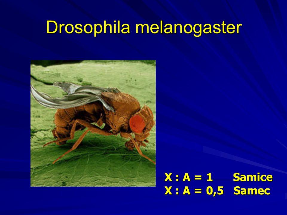 Drosophila melanogaster X : A = 1 Samice X : A = 0,5 Samec