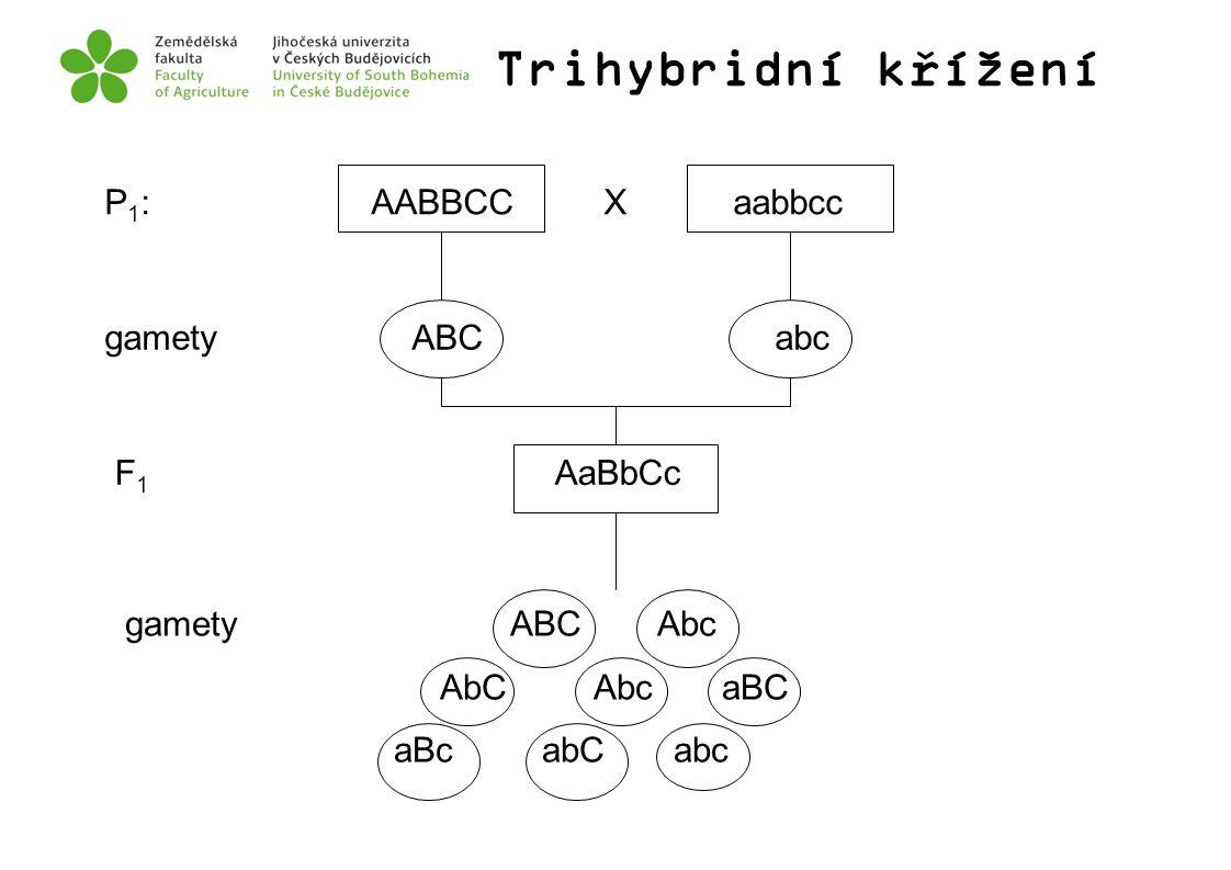 Trihybridní křížení P 1 : AABBCC X aabbcc gamety ABC abc F 1 AaBbCc gamety ABC Abc AbC Abc aBC aBc abC abc