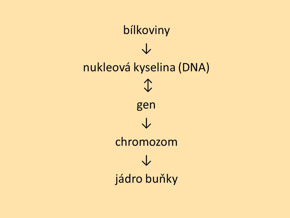 bílkoviny ↓ nukleová kyselina (DNA) ↕ gen ↓ chromozom ↓ jádro buňky