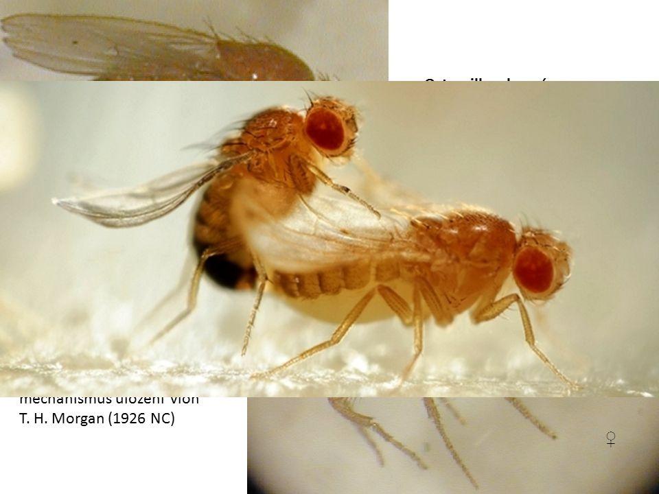 Octomilka obecná Drosophila melanogaster ♂ ♀ Na Drosophyle objasnil strukturu chromozomu a mechanismus uložení vloh T.