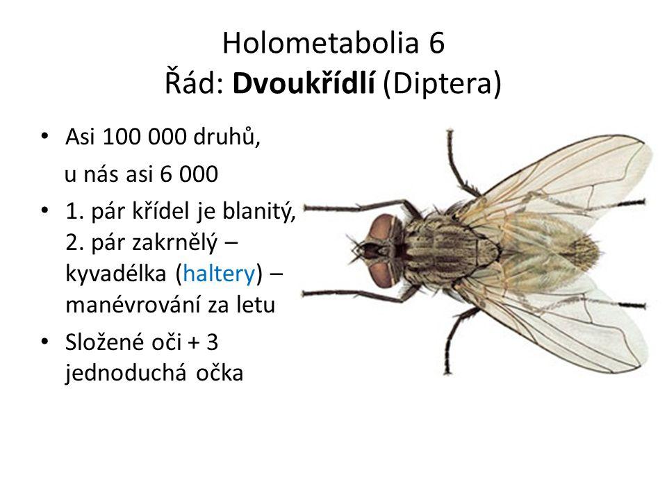 Holometabolia 6 Řád: Dvoukřídlí (Diptera) Asi 100 000 druhů, u nás asi 6 000 1.