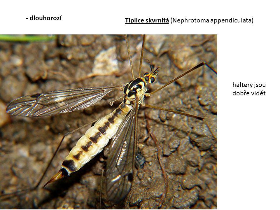 - dlouhorozí Tiplice skvrnitá (Nephrotoma appendiculata) haltery jsou dobře vidět