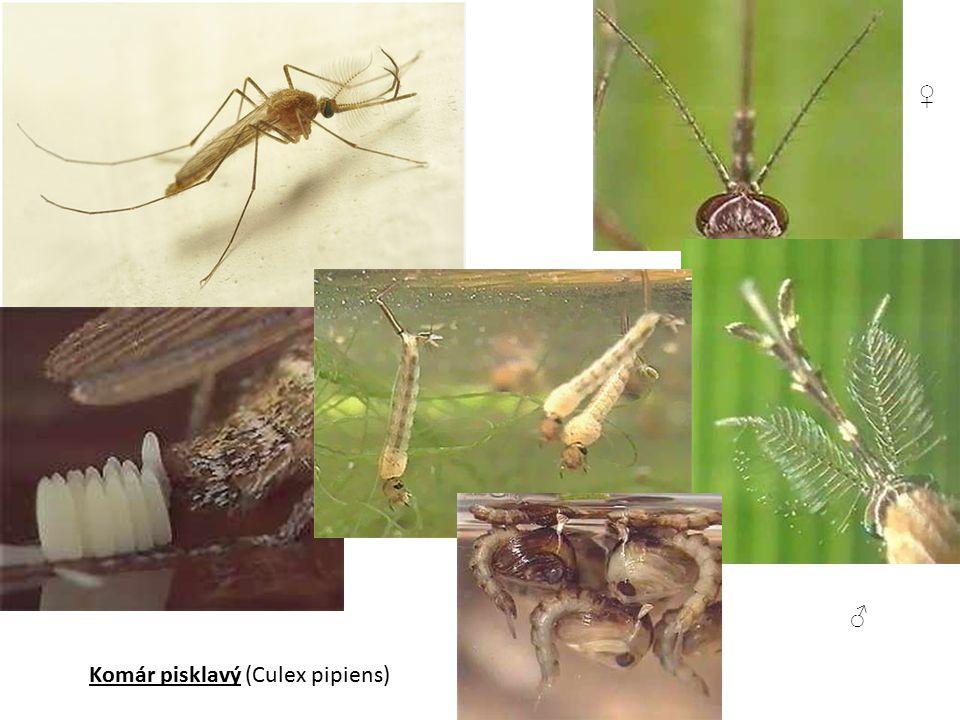 Komár pisklavý (Culex pipiens) ♀ ♂