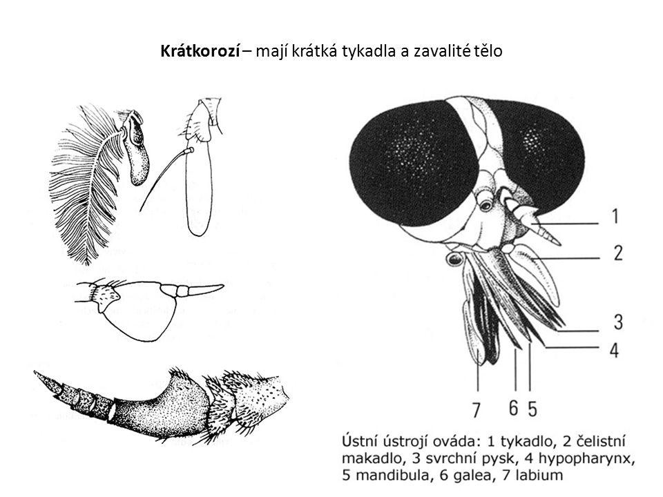 Krátkorozí – mají krátká tykadla a zavalité tělo