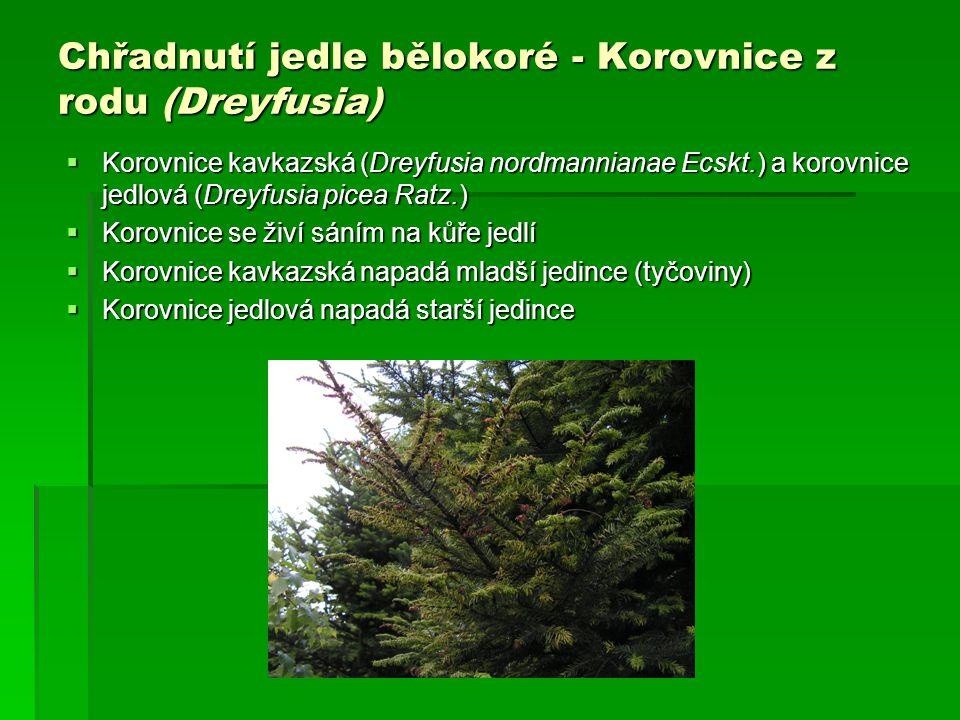 Chřadnutí jedle bělokoré - Korovnice z rodu (Dreyfusia)  Korovnice kavkazská (Dreyfusia nordmannianae Ecskt.) a korovnice jedlová (Dreyfusia picea Ra