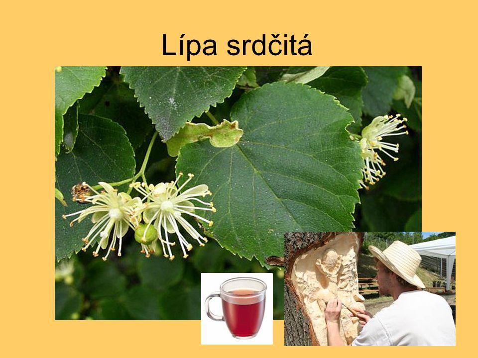 Literatura http://botany.cz http://gify.nou.cz http://botanika.bf.jcu.cz http://www.ars-grin.gov http://www.dkimages.com http://prirodakarlovarska.cz http://crdp2.ac-besancon.fr http://www.floralimages.co.uk http://www.musicofthetrees.com Kvasničková, D.
