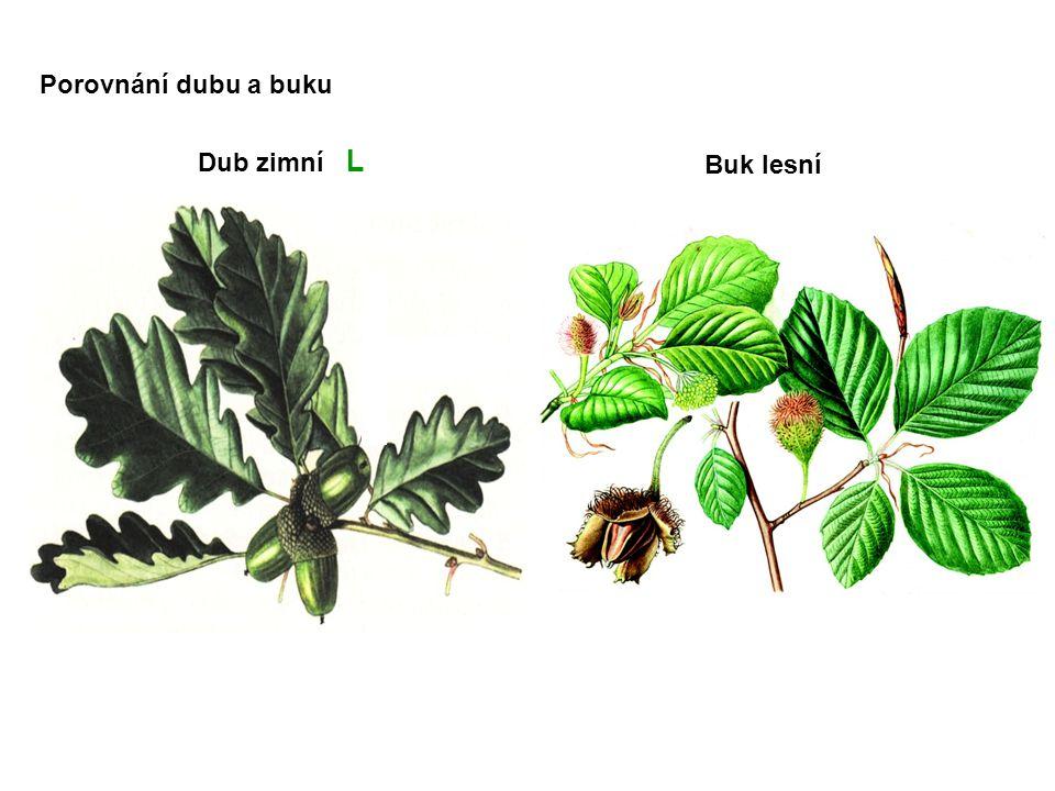 Dub zimní L Buk lesní Porovnání dubu a buku
