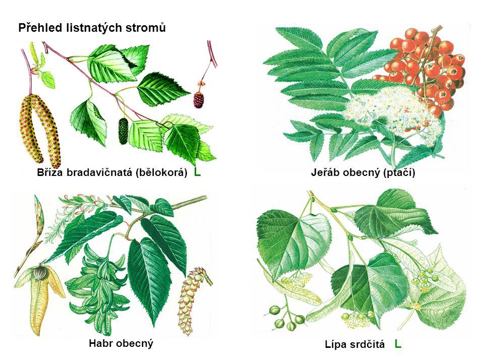 bříza bradavičnatá L Habr obecný Lípa srdčitá L Jeřáb obecný (ptačí)Bříza bradavičnatá (bělokorá) L Přehled listnatých stromů