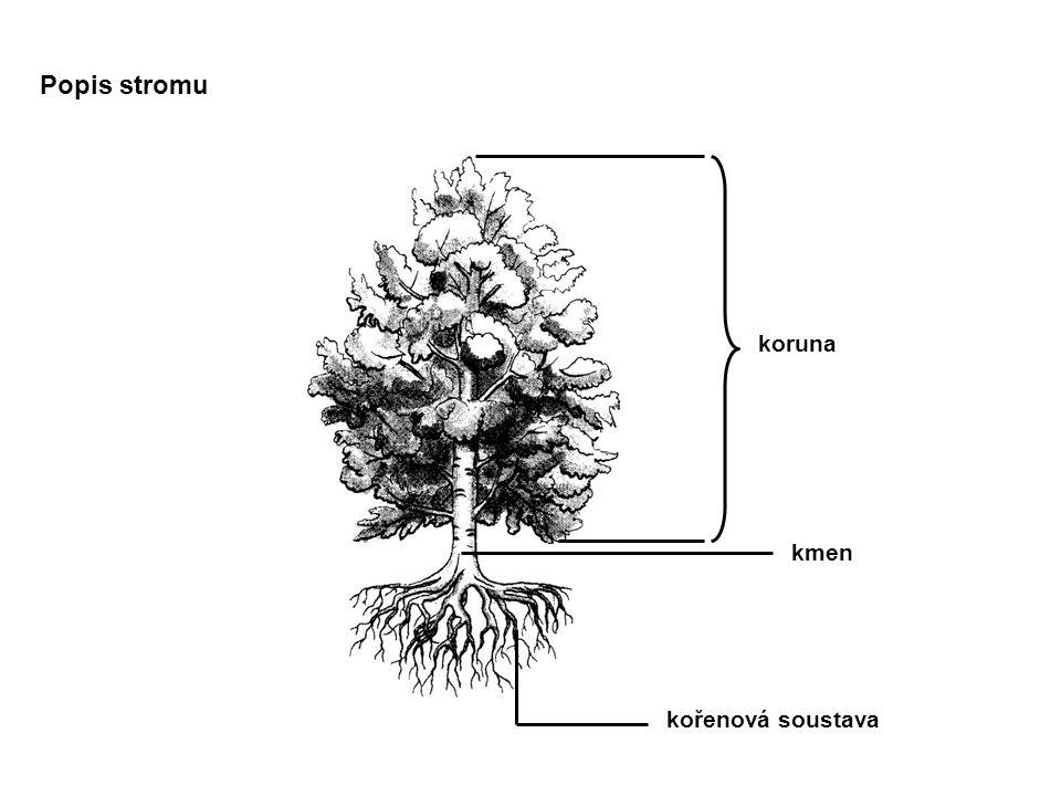 Popis stromu koruna kmen kořenová soustava
