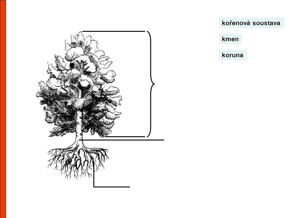 koruna kmen kořenová soustava
