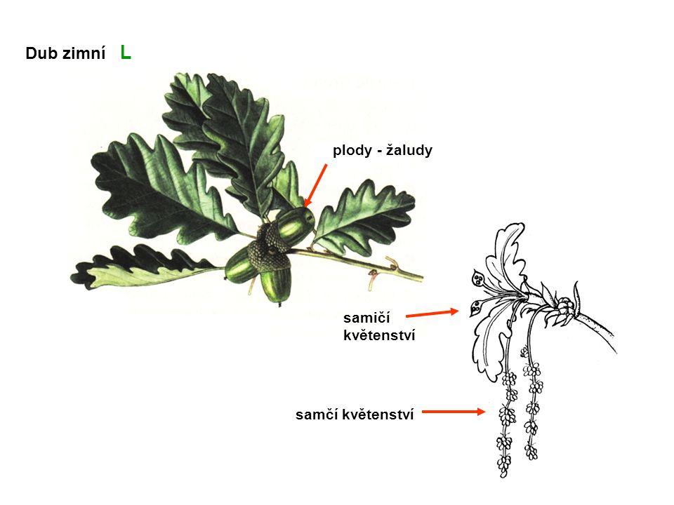 plody - žaludy samičí květenství samčí květenství Dub zimní L