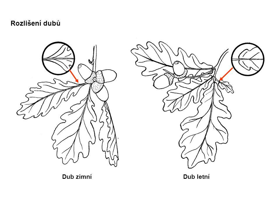 Rozlišení dubů Dub zimníDub letní
