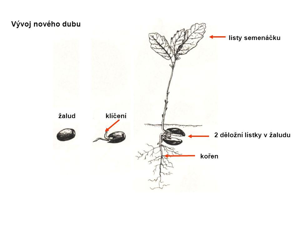2 děložní lístky v žaludu žaludklíčení kořen Vývoj nového dubu listy semenáčku
