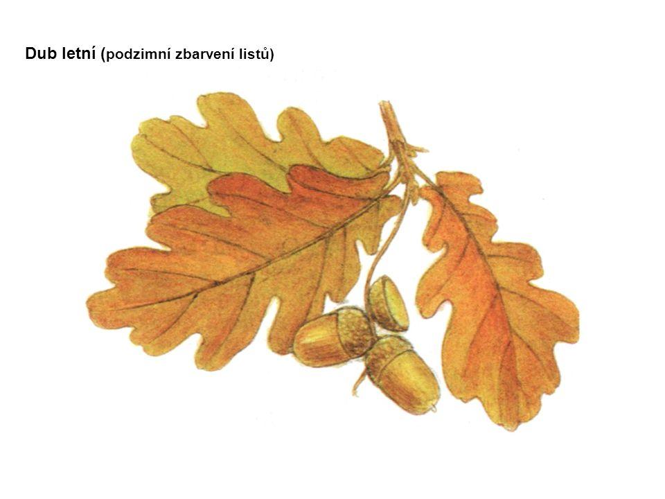 Dub letní ( podzimní zbarvení listů)