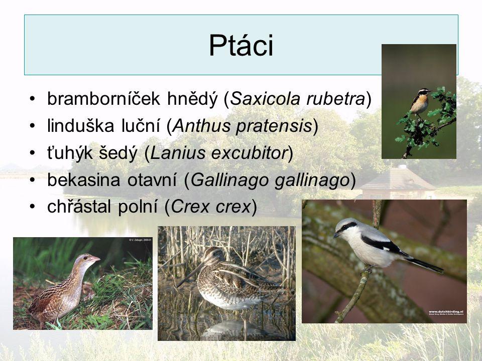 Ptáci bramborníček hnědý (Saxicola rubetra) linduška luční (Anthus pratensis) ťuhýk šedý (Lanius excubitor) bekasina otavní (Gallinago gallinago) chřá