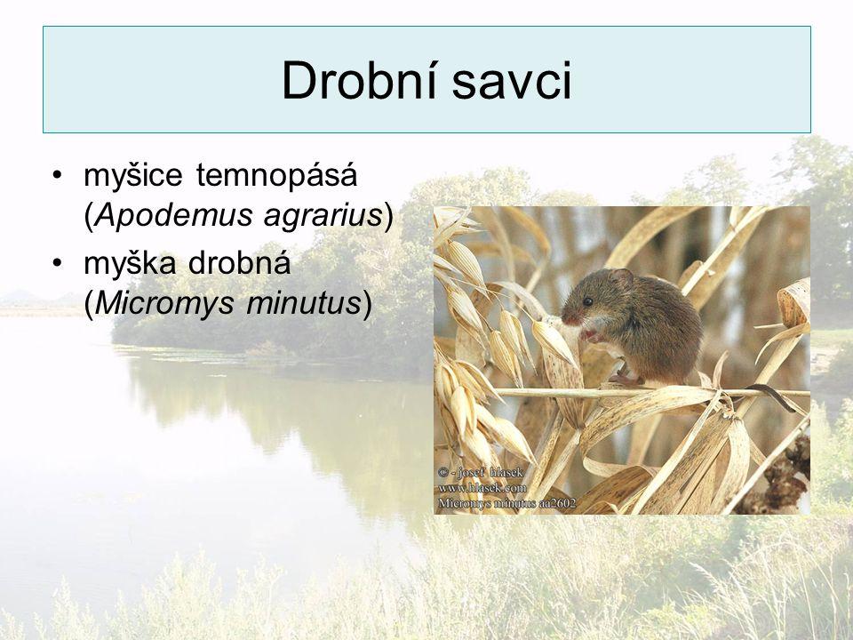 Drobní savci myšice temnopásá (Apodemus agrarius) myška drobná (Micromys minutus)