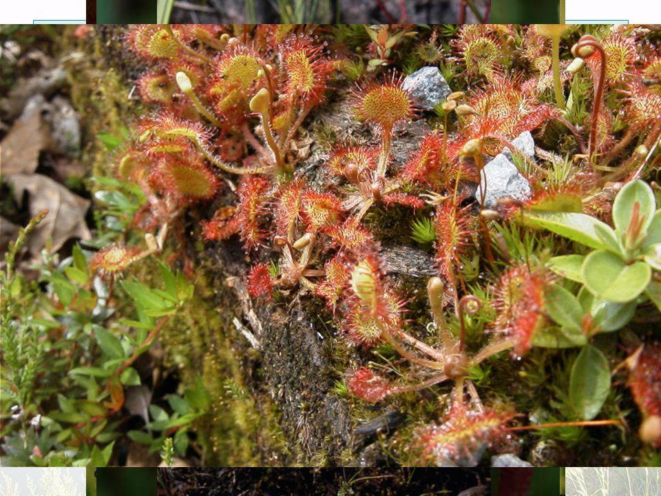 Další významné druhy popelivka sibiřská (Ligularia sibirica) hlízovec Loeselův (Liparis Loselii) úpolín nejvyšší (Trollius altissimus) kruštík bahenní