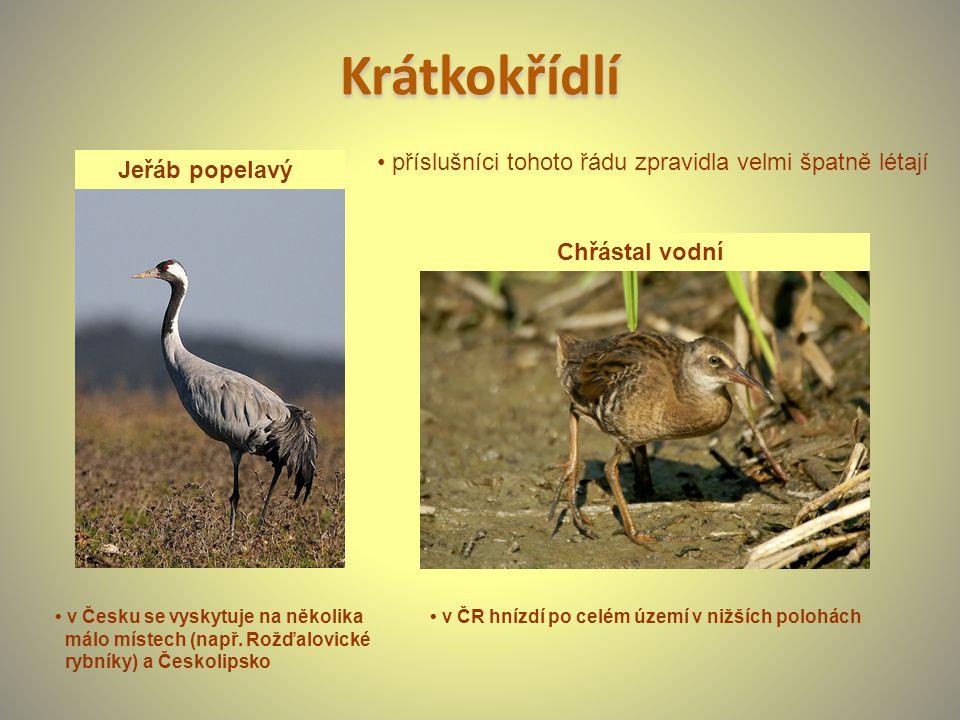 Krátkokřídlí Jeřáb popelavý Chřástal vodní v Česku se vyskytuje na několika málo místech (např. Rožďalovické rybníky) a Českolipsko v ČR hnízdí po cel