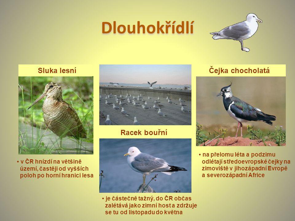 Dlouhokřídlí v ČR hnízdí na většině území, častěji od vyšších poloh po horní hranici lesa Sluka lesní je částečně tažný, do ČR občas zalétává jako zim