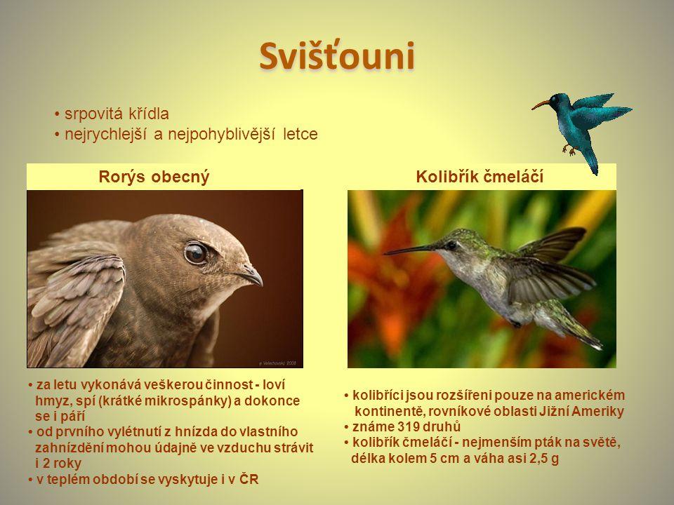 Svišťouni Rorýs obecný Kolibřík čmeláčí kolibříci jsou rozšířeni pouze na americkém kontinentě, rovníkové oblasti Jižní Ameriky známe 319 druhů kolibř