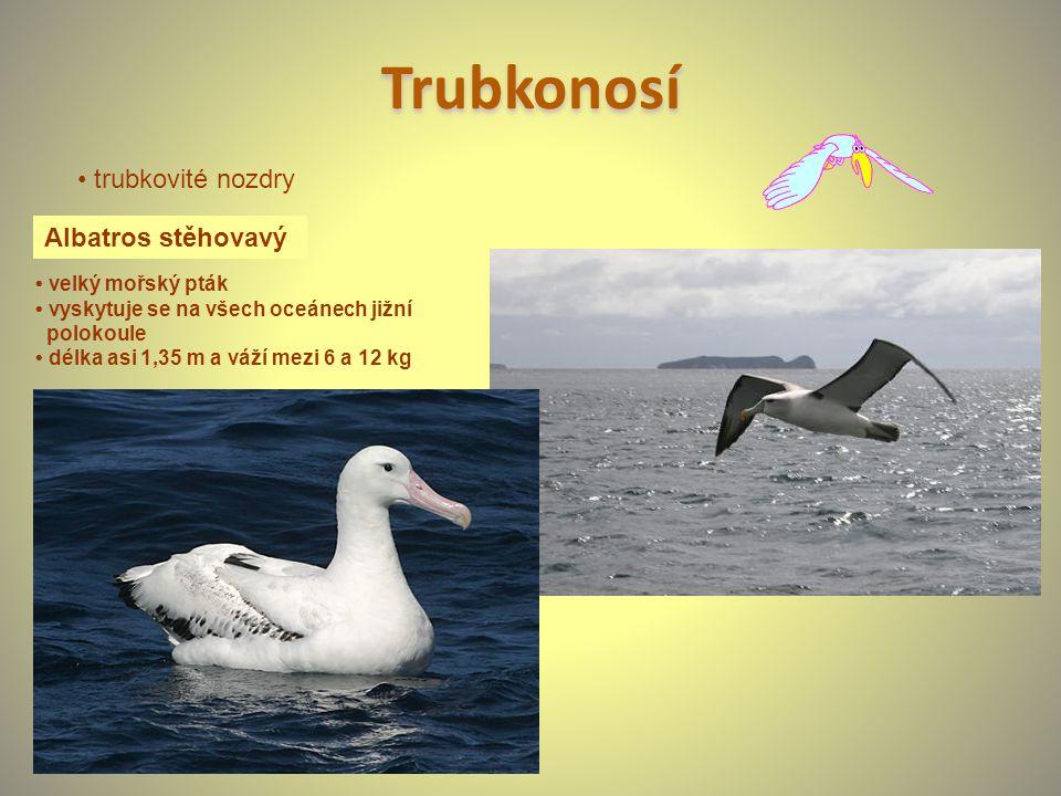 Trubkonosí Albatros stěhovavý velký mořský pták vyskytuje se na všech oceánech jižní polokoule délka asi 1,35 m a váží mezi 6 a 12 kg trubkovité nozdr