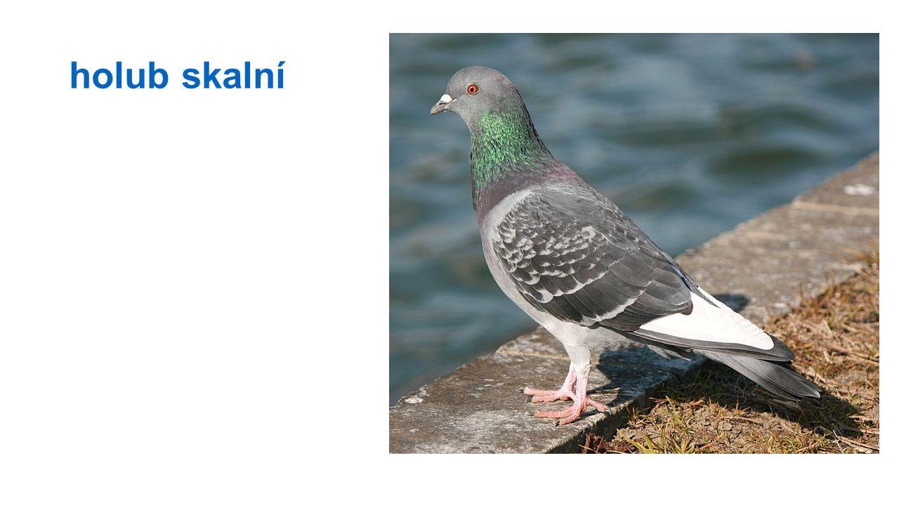 holub skalní