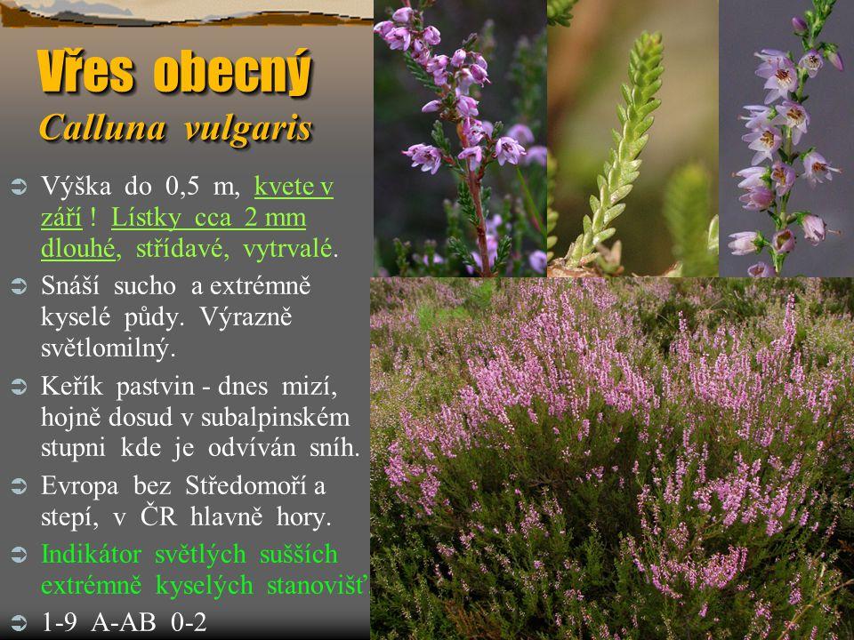 Vřes obecný Calluna vulgaris  Výška do 0,5 m, kvete v září ! Lístky cca 2 mm dlouhé, střídavé, vytrvalé.  Snáší sucho a extrémně kyselé půdy. Výrazn
