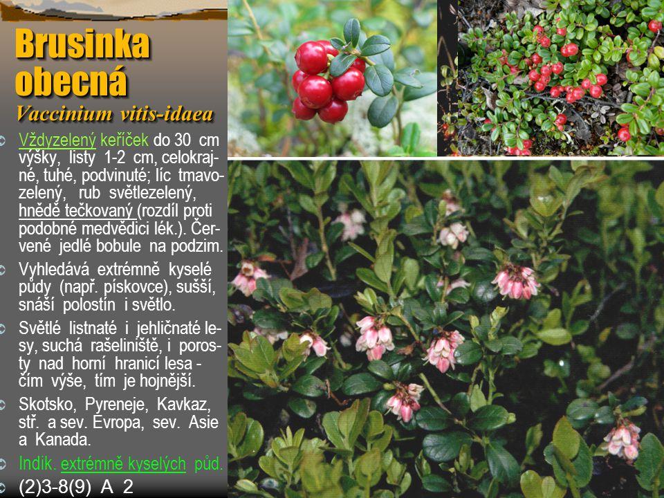 Brusinka obecná Vaccinium vitis-idaea  Vždyzelený keříček do 30 cm výšky, listy 1-2 cm, celokraj- né, tuhé, podvinuté; líc tmavo- zelený, rub světlez