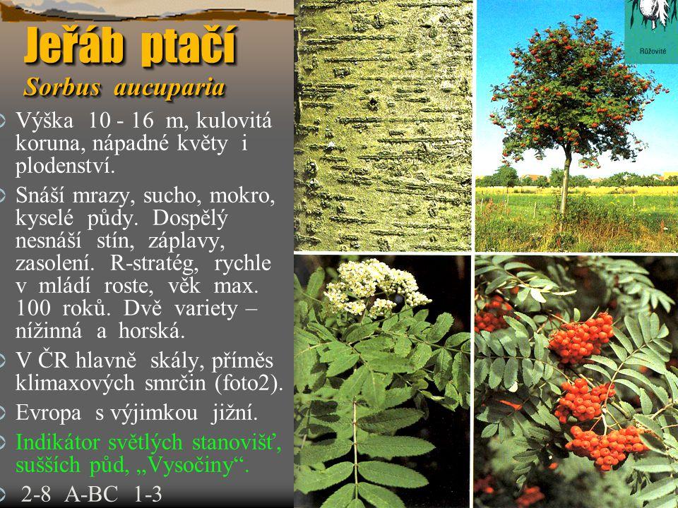 Jeřáb ptačí Sorbus aucuparia  Výška 10 - 16 m, kulovitá koruna, nápadné květy i plodenství.  Snáší mrazy, sucho, mokro, kyselé půdy. Dospělý nesnáší