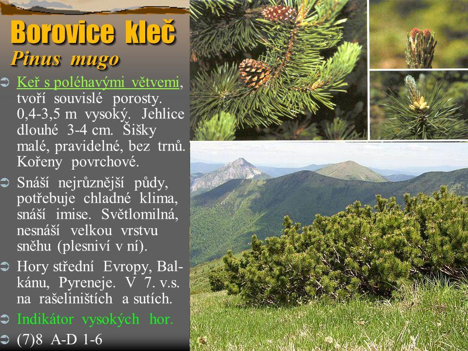 Borovice kleč Pinus mugo  Keř s poléhavými větvemi, tvoří souvislé porosty. 0,4-3,5 m vysoký. Jehlice dlouhé 3-4 cm. Šišky malé, pravidelné, bez trnů