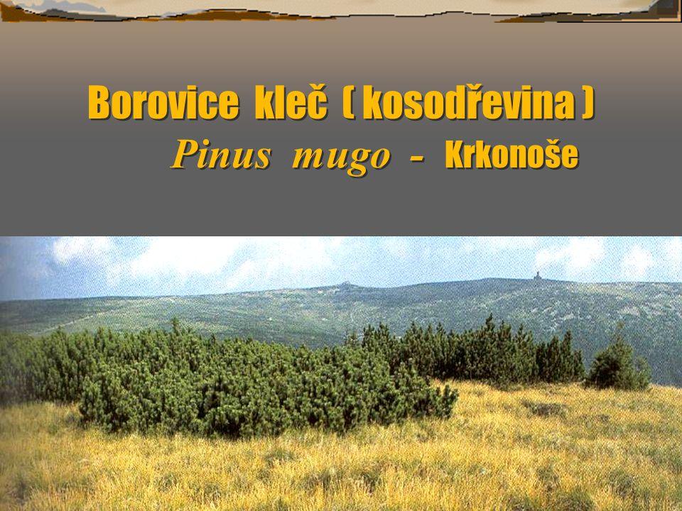 Borovice kleč ( kosodřevina ) Pinus mugo - Krkonoše