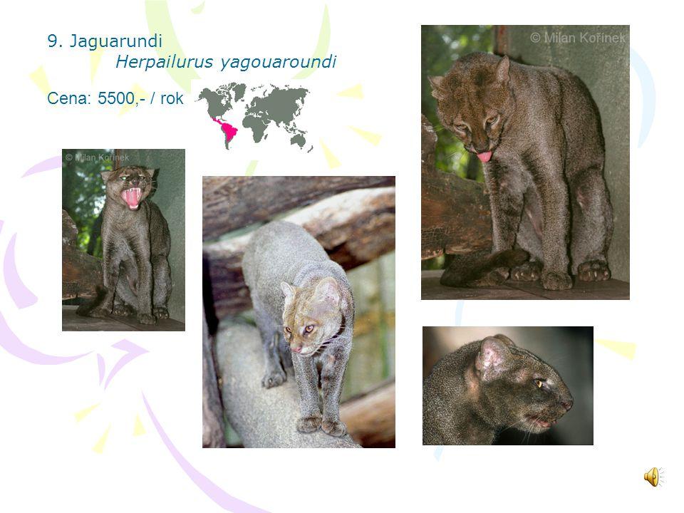 8. Serval Leptailurus serval Cena: 5500,- / rok