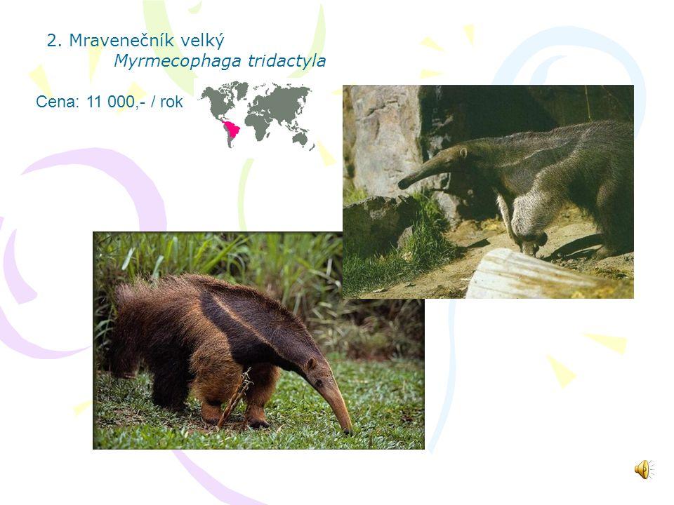 2. Mravenečník velký Myrmecophaga tridactyla Cena: 11 000,- / rok