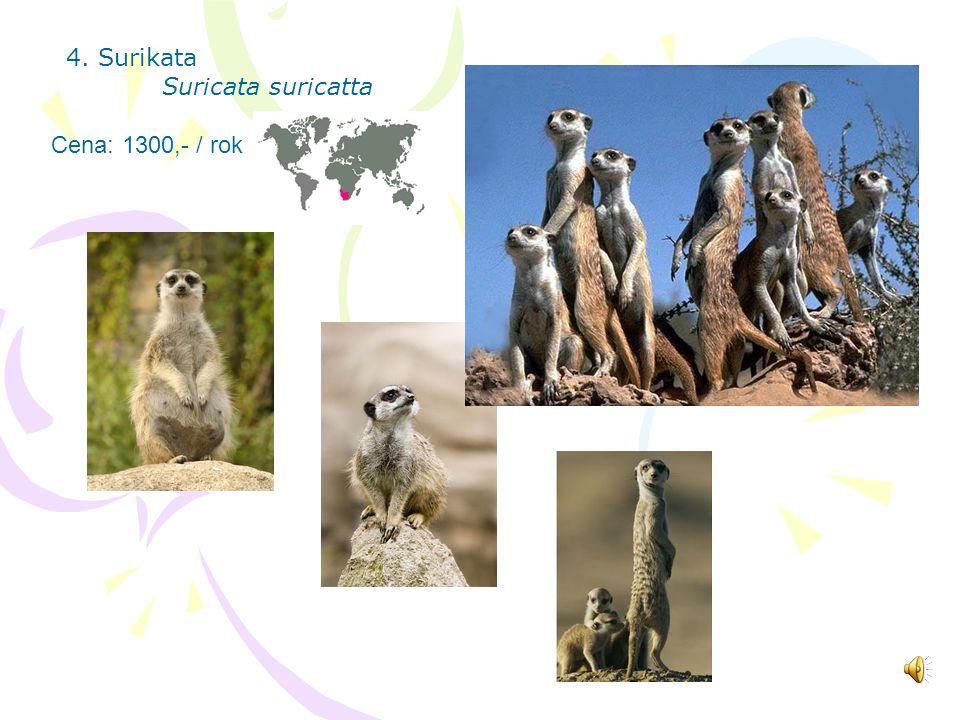 4. Surikata Suricata suricatta Cena: 1300,- / rok
