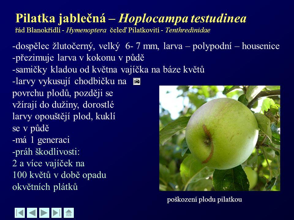 Pilatka jablečná – Hoplocampa testudinea řád Blanokřídlí - Hymenoptera čeleď Pilatkovití - Tenthredinidae -dospělec žlutočerný, velký 6- 7 mm, larva –