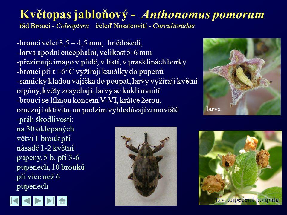 Květopas jabloňový - Anthonomus pomorum řád Brouci - Coleoptera čeleď Nosatcovití - Curculionidae -brouci velcí 3,5 – 4,5 mm, hnědošedí, -larva apodní