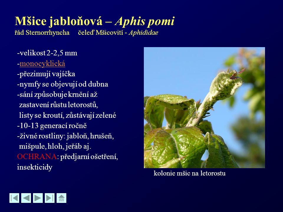 Mšice jabloňová – Aphis pomi řád Sternorrhyncha čeleď Mšicovití - Aphididae -velikost 2-2,5 mm -monocyklickámonocyklická -přezimují vajíčka -nymfy se