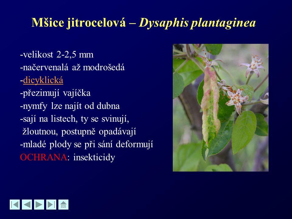 Mšice jitrocelová – Dysaphis plantaginea -velikost 2-2,5 mm -načervenalá až modrošedá -dicyklickádicyklická -přezimují vajíčka -nymfy lze najít od dub
