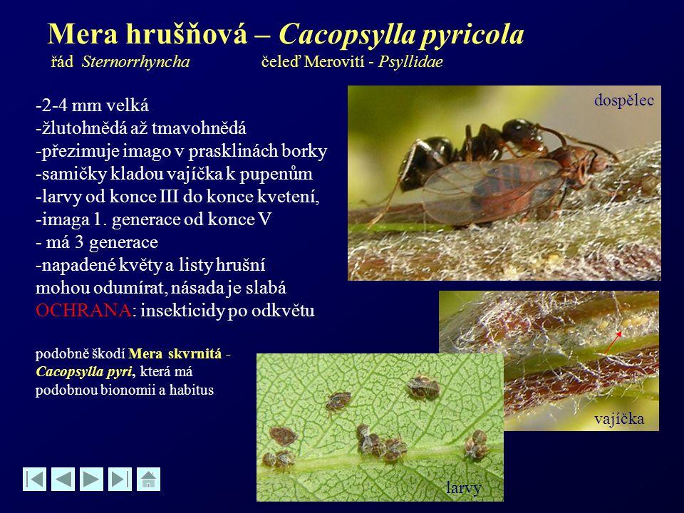 Mera hrušňová – Cacopsylla pyricola řád Sternorrhyncha čeleď Merovití - Psyllidae -2-4 mm velká -žlutohnědá až tmavohnědá -přezimuje imago v praskliná