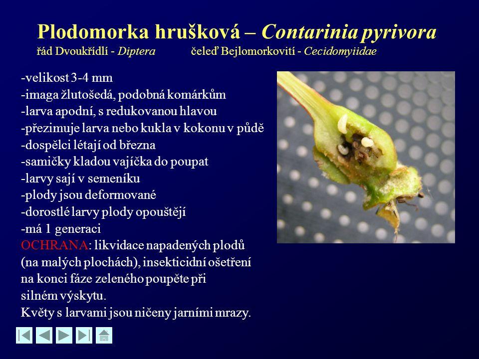 Plodomorka hrušková – Contarinia pyrivora řád Dvoukřídlí - Diptera čeleď Bejlomorkovití - Cecidomyiidae -velikost 3-4 mm -imaga žlutošedá, podobná kom