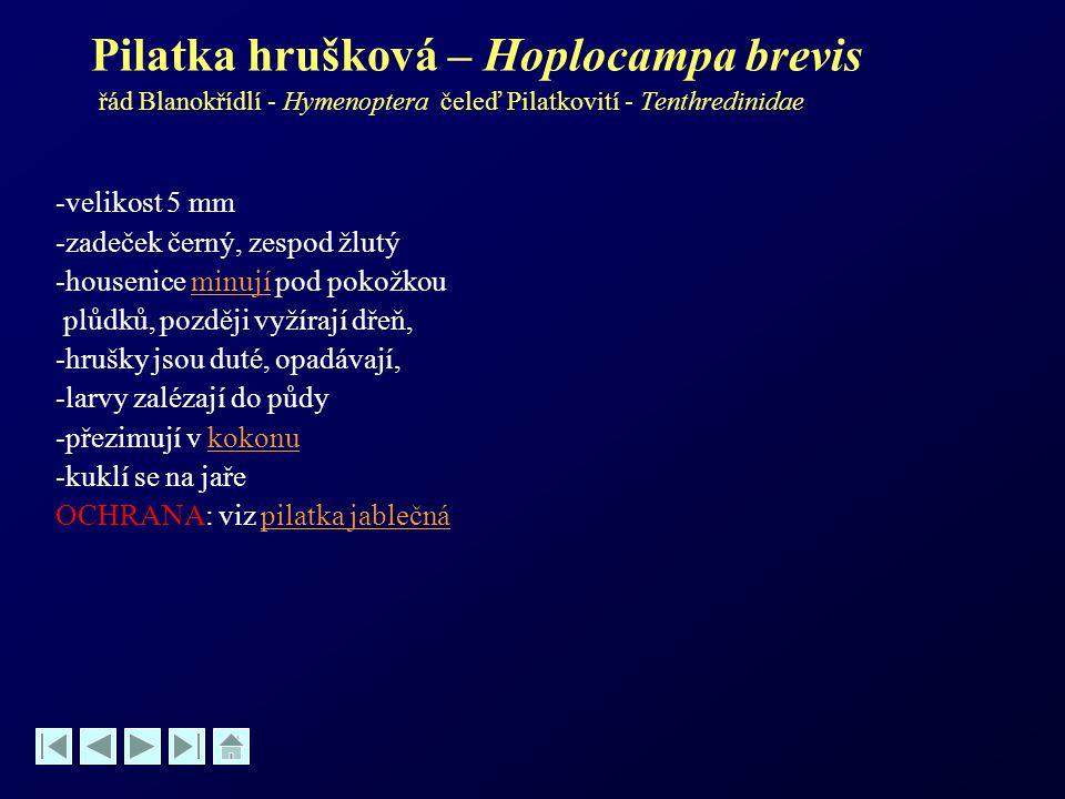 Pilatka hrušková – Hoplocampa brevis řád Blanokřídlí - Hymenoptera čeleď Pilatkovití - Tenthredinidae -velikost 5 mm -zadeček černý, zespod žlutý -hou