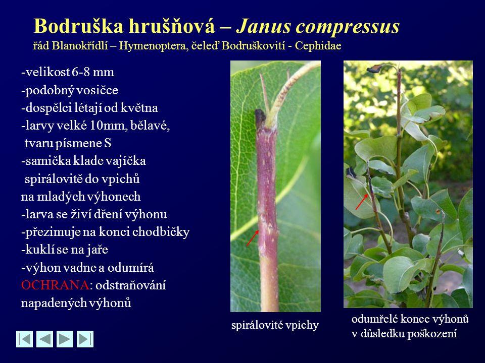 Bodruška hrušňová – Janus compressus řád Blanokřídlí – Hymenoptera, čeleď Bodruškovití - Cephidae -velikost 6-8 mm -podobný vosičce -dospělci létají o
