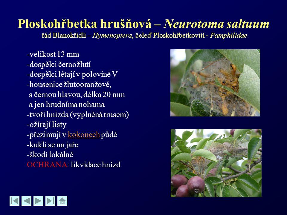 Ploskohřbetka hrušňová – Neurotoma saltuum řád Blanokřídlí – Hymenoptera, čeleď Ploskohřbetkovití - Pamphilidae -velikost 13 mm -dospělci černožlutí -