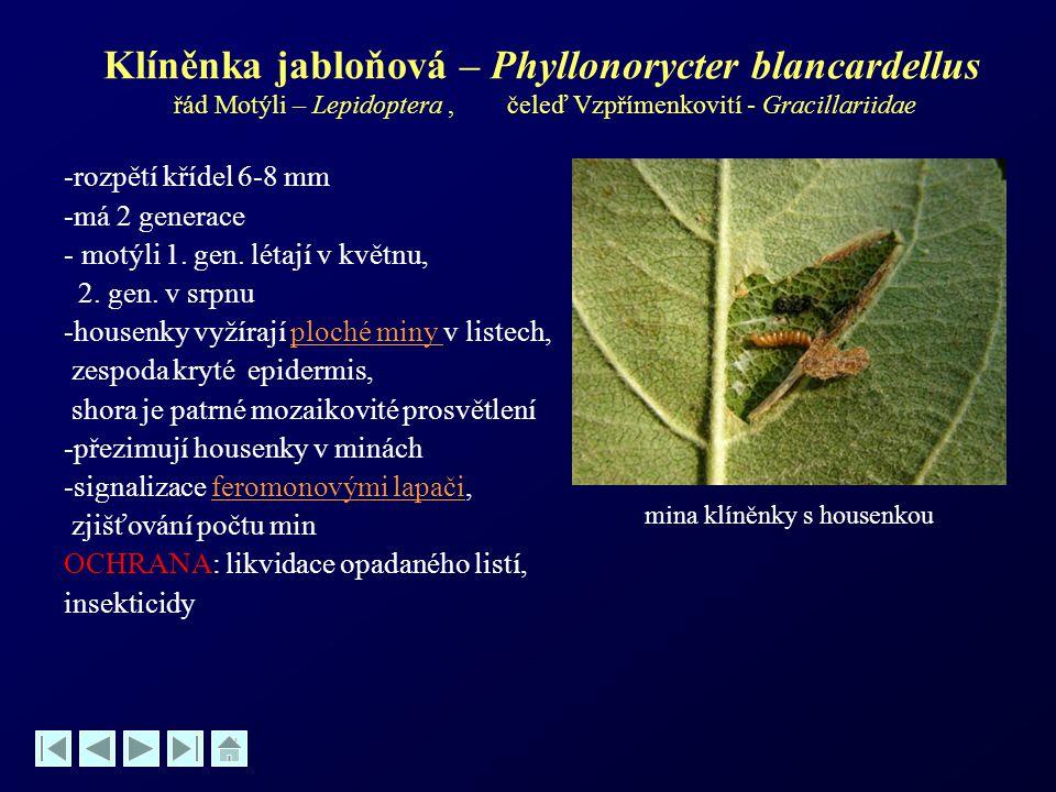 Klíněnka jabloňová – Phyllonorycter blancardellus řád Motýli – Lepidoptera, čeleď Vzpřímenkovití - Gracillariidae -rozpětí křídel 6-8 mm -má 2 generac